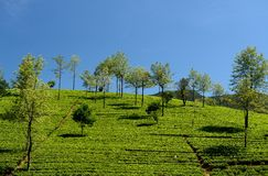 Sri Lanka, Tea plantation Royalty Free Stock Image