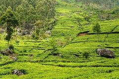 Sri Lanka, Tea plantation Royalty Free Stock Photo