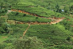 Sri Lanka tea plantations at Nuwara Elliya Royalty Free Stock Photography
