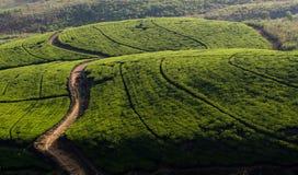 Sri Lanka, Theeaanplanting Stock Fotografie