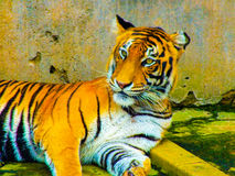SRI LANKA TIGER Stock Photo