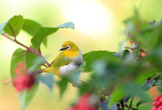 Sri Lanka White-eye Royalty Free Stock Photos