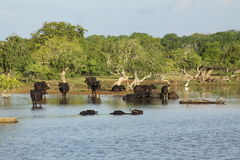 Sri Lanka wild cow. In national park Royalty Free Stock Photography