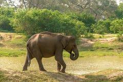 Sri Lanka: wild elephant in drinking place, Yala National Park Stock Images