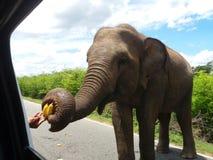 Sri Lanka wild elephant on the road. Eats banana Stock Photo