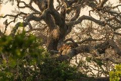 Sri Lanka: wilde luipaard op boom in het Nationale Park van Yala stock afbeelding