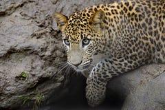 Sri- Lankaleopard Lizenzfreies Stockfoto