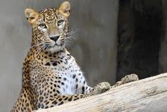 Sri- Lankaleopard Lizenzfreies Stockbild
