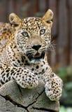 Sri- Lankaleopard Stockfoto