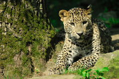 Sri- Lankaleopard Lizenzfreie Stockfotografie