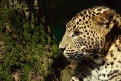 Sri- Lankaleopard Stockbild