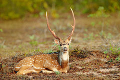 Sri Lankan axis deer Axis ceylonensis, or Ceylon spotted deer, nature habitat. Bellow majestic powerful adult animal sitting in gr Stock Photography