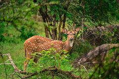 Sri Lankan axis deer royalty free stock photography