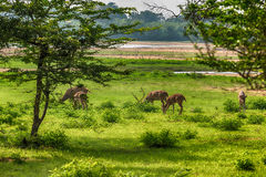 Sri Lankan Axis Spotted Deer in Yala National Park royalty free stock photo