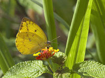 Sri lankan clouded yellow butterfly Stock Images