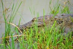 Sri Lankan Crocodile resting on bank Stock Images