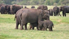 Sri Lankan Elefant Lizenzfreies Stockfoto