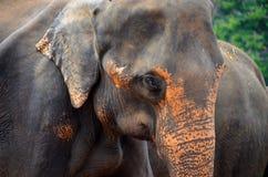 Sri Lankan Elefant Stockbild