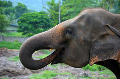 Sri Lankan elephant drinking Stock Images