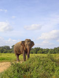 Sri lankan elephant Royalty Free Stock Photo