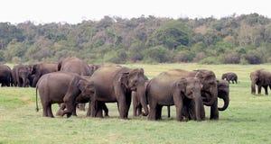 Sri Lankan Elephant Royalty Free Stock Photography