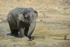 Sri Lankan Elephant - Elephas maximus maximus, Sri Lanka stock images