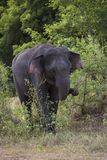 Sri Lankan Elephant - Elephas maximus maximus, Sri Lanka. Sri Lankan Elephant having breakfast in the forest Stock Photography