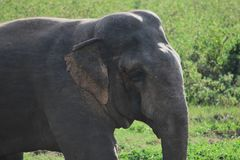 Asia Wild Elephant sri lanka. The Sri Lankan elephant Elephas maximus maximus is one of three recognized subspecies of the Asian elephant, and native to Sri stock photos