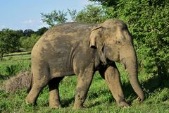 Asian elephant in sri lanka. The Sri Lankan elephant Elephas maximus maximus is one of three recognized subspecies of the Asian elephant, and native to Sri Lanka royalty free stock photography