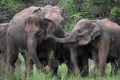 Asian elephant in sri lanka. The Sri Lankan elephant Elephas maximus maximus is one of three recognized subspecies of the Asian elephant, and native to Sri Lanka stock photo