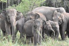 Asian elephant in sri lanka. The Sri Lankan elephant Elephas maximus maximus is one of three recognized subspecies of the Asian elephant, and native to Sri Lanka royalty free stock image