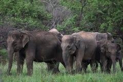 Asian elephant in sri lanka. The Sri Lankan elephant Elephas maximus maximus is one of three recognized subspecies of the Asian elephant, and native to Sri Lanka stock photography