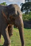 Wild elephant sri lanka. The Sri Lankan elephant Elephas maximus maximus is one of three recognized subspecies of the Asian elephant, and native to Sri Lanka royalty free stock photos