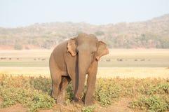 Sri Lankan elephant grazing in the grassland Stock Photo