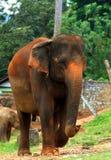 Sri lankan elephant Stock Image
