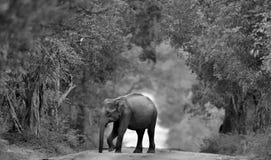 Sri lankan elephant on the road. Black and white photo. Sri lankan elephant on the road. Sri Lankan elephant Elephas maximus maximus. Black and white photo royalty free stock photo
