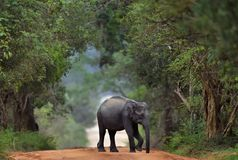 Sri lankan elephant on the road. Sri Lankan elephant Elephas maximus maximus. Sri Lanka. Yala national park royalty free stock images