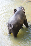 Sri Lankan Elephant in Water Royalty Free Stock Image