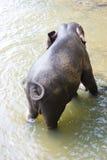 Sri Lankan Elephant in Water. Image of an elephant bathing in a river at Pinnawala-Rambukkana, Sri Lanka Royalty Free Stock Image