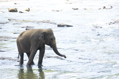 Sri Lankan Elephant in Water Royalty Free Stock Photography