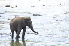 Sri Lankan Elephant in Water. Image of an elephant bathing in a river at Pinnawala-Rambukkana, Sri Lanka Royalty Free Stock Photography