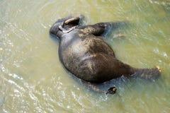 Sri Lankan Elephant in Water. Image of an elephant bathing in a river at Pinnawala-Rambukkana, Sri Lanka Stock Photo