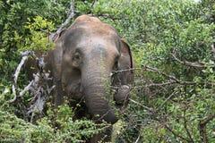 Sri Lankan Elephant. Whilst on safari in Yala National Park I photographed this elephant eating Stock Image