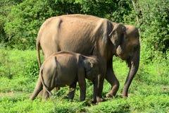 Sri lankan elephant Royalty Free Stock Image