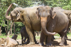 Sri Lankan Elephants Royalty Free Stock Photo
