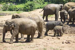 Sri Lankan Elephants Stock Image