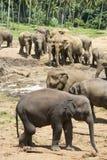 Sri Lankan Elephants Stock Images