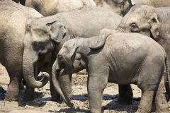 Sri Lankan Elephants Stock Photography