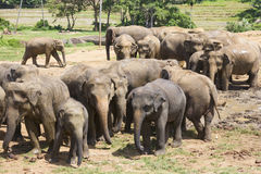 Sri Lankan Elephants Stock Photography