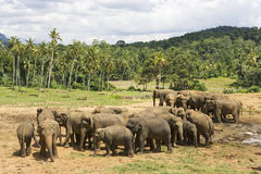 Sri Lankan Elephants Stock Photos